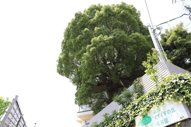 シンボルツリーの「くすの木」